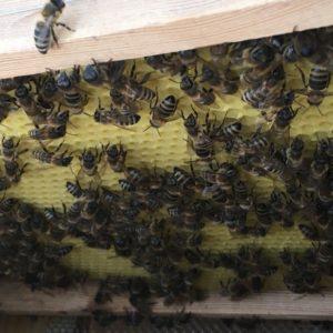 Bienen auf frischer Wabe